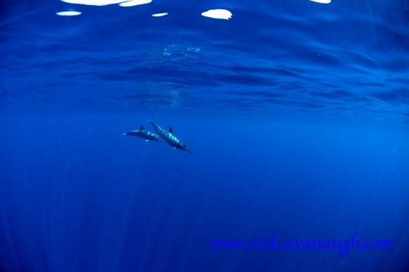 Dolphins off Utila